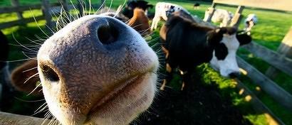 Россияне создали Face ID для коров и коз ради цифровизации сельского хозяйства