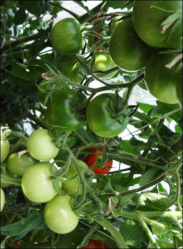 Более того, потребителям неравномерно окрашенные томаты могут показаться менее аппетитными.  Биотехнологии.
