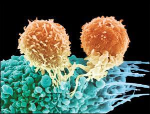Новая технология лечения позволяет «научить» иммунные Т-клетки атаковать клетки опухоли. Подобная методика, теоретически, может применяться для лечения любых видов рака на любой стадии, а также многих инфекционных заболеваний и тяжелых отравлений