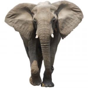 Слоны слышат дождь за 240 км