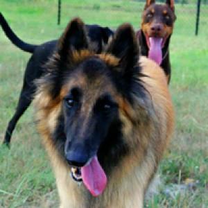 Лекарство от старости испытают на собаках