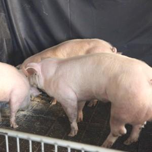 Генно-модифицированные свиньи — вдвое больше мяса