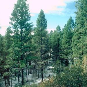 На Земле осталось 3 трлн деревьев