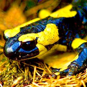 Чудесная регенерация саламандр была у всех позвоночных