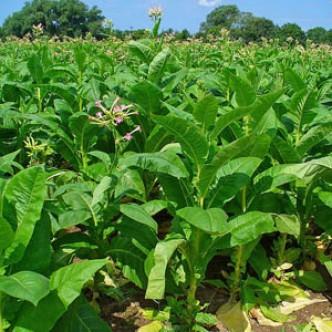 ВОЗ: табачная промышленность вредит экологии