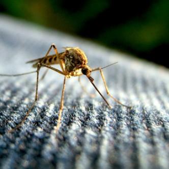 Google будет бороться с вирусом Зика с помощью инфицированных комаров