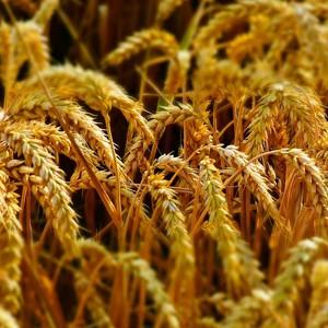 Ученые сделали прорыв в генетике пшеницы
