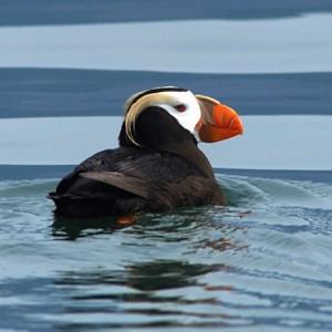 В гибели птиц в Беринговом море винят глобальное потепление